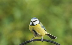 Blue tit by Chris Cheshire on 500px