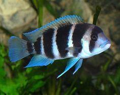 Frontosa fish in aquarium. Frontosa fish swimming in aquarium , Malawi Cichlids, African Cichlids, Biotope Aquarium, Aquarium Fish, Colorful Fish, Tropical Fish, Cichlid Fish, Discus, Lake Tanganyika