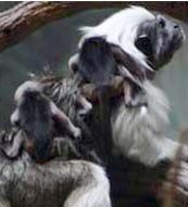 twin cotton top tamarins crawling on the back of Mom