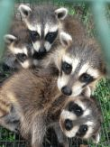 A Wildlife Removal Expert is quite essential when you stay within an animal infested area. This article explains why you should hire a wildlife removal expert. Wildlife, Old Things, How To Remove, City, Animals, Animales, Animaux, Cities, Animal