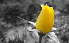 Flower Yellow Rose Selective Coloring