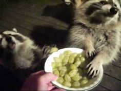 03 November 17  Raccoon Dinner Adorable Animals, Cute Cats, November 17, Raccoons, Cute Gif, Nature Animals, Social Media, Dinner, Videos