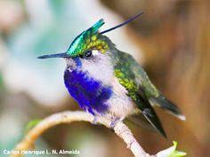 Beija-flor-de-pescoço-vermelho (Archilocus colubris)  Após um intervalo de trabalho e outro, enquanto a inspiração não vem, vamos refletindo...