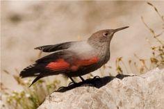Fauna en el Parque Nacional de Ordesa y Monte Perdido. Treparriscos