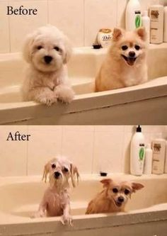 Two small dogs before and after bath