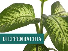 Container Gardening For Beginners Dieffenbachia houseplant that helps clean the air Large Indoor Plants, Outdoor Plants, Best Herbs To Grow, Plant Cuttings, Office Plants, Cool Plants, Gardening For Beginners, Container Gardening, Indoor Gardening