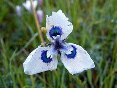 Moraea aristata. Moraea aristata (Blue-eyed Uintjie or Blouooguintjie in…
