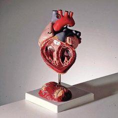 3B Four-Part Heart Model | Ward's Science #WardDreamLab @wardsscience