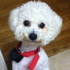 Cute Bichon Bichon Dog, Bichons, Puppys, Poodle, Doggies, Cute Dogs, Marvel, Friends, Beauty