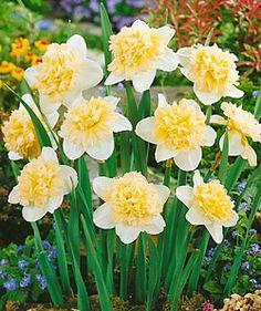 Ice King Double Daffodil-blooming bulbs