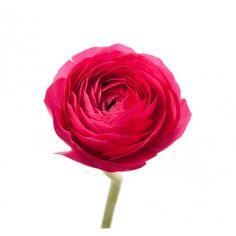 Hot Pink Ranunculus - Ranunculus - Types of Flowers | Flower Muse