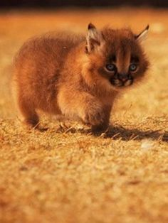 17 Adorable Pictures of Baby Caracals That Will Melt Your Heart - meowlogy Caracal Kittens, Baby Kittens, Cats And Kittens, Animals And Pets, Baby Animals, Cute Animals, Baby Pictures, Adorable Pictures, Big Cats