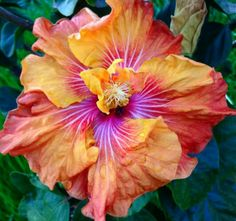 Brad D. Hibiscus Plant, Hibiscus Flowers, Flowers Nature, Tropical Flowers, Exotic Flowers, Amazing Flowers, Pretty Flowers, Tropical Plants, Hibiscus Rosa Sinensis