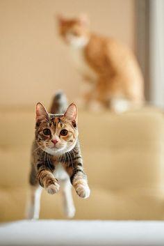 zsazsabellagio: Cat jumping toward camera by Akimasa Harada on Getty Images