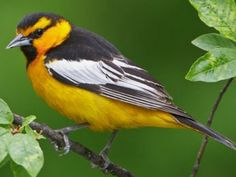 Bullock's Oriole, Icterus bullockii: open woodlands in the AmWest // allaboutbirds.org