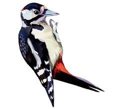 woodpecker illustration in watercolour