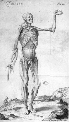 Some of the inferior muscles that appear on the fore-part of the body after their superior and external ones are remov'd. Tab. XXV. DRAKE, James (https://www.pinterest.com/pin/287386019949730525), Ouvrage : Anthropologia nova or a new system of anatomy. Londres : W & J. Innys, 1727. Graveur : Gucht, Vancer.