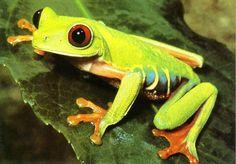 Yo ví una rana en Panama's bosque pluvial grande.