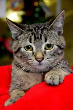 Cat of the Week  Andy and his brother Amos were found homeless and brought to CARA in hopes of finding a loving home. Andy and Amos are about 3 months old and are balls of fun. Both would love to see a stocking hung just for them on Christmas morning.
