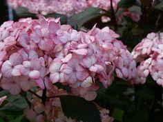 Vijver en Tuincentrum Pelckmans: Hydrangea serrata 'Preziosa'