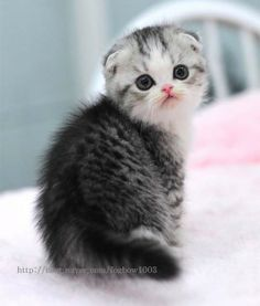 Sweet Little Scottish Fold Kitten