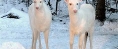 Have you ever seen Boulder Junction's white deer? Boulder Junction, Albino Deer, Albinism, The Great White, Wisconsin, Earth, Amazing, Animals, Beautiful