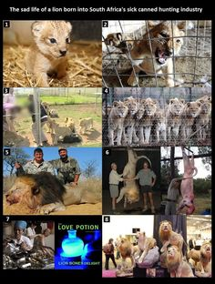The life of a lion born into the canned hunting industry. The animals are released into an large fenced in enclosure and then shot until they are dead..This is what rich tourists consider to be fun. Honestly, I can't imagine how someone could participate in this sick practice :(