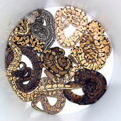 Bucket of Ball python Morphs