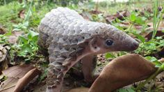 Is That a Walking Pine Cone?! No - Just a Pangolin - This is the Pangolin (order Pholidota) which is otherwise known as a Scaly Anteater. There are eight extant species of this bizarre creature that all share the same characteristic artichoke-esque appearance. When a pangolin is born, the plates are quite soft but as it matures they become increasingly harder. Pangolins can curl up into a ball and tuck their heads under their scales to protect themselves from any danger.