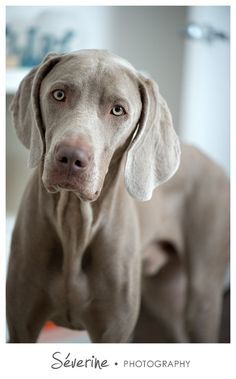 #weimaraner #dog  Photos by Severine Photography