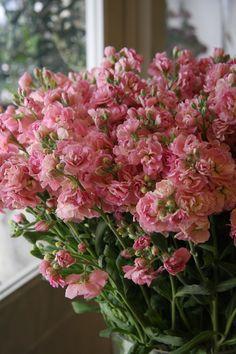 stock flower Quartet peach - MATTHIOLA INCANA