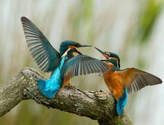 young-fighting-kingfishers.gif 692×526 pixels