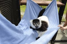 Fleece and sheets are light weight and easy to hang so we can constantly add them and move them around enclosures. Just in time for this black and white ruffed lemur to enjoy the warm spring weather! Photo by David Haring