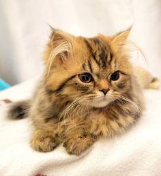 ✿ Lilou ✿ on Yummypets.com Like & repin, if you find this kitten, so cute…