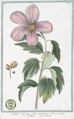 Rose of Sharon. Hibiscus syriacus. Hortus Romanus juxta Systema Tournefortianum…