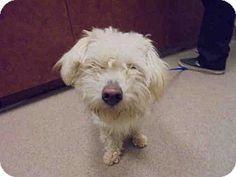 Upland, CA - Maltese/Poodle (Miniature) Mix. Meet A043278, a dog for adoption. http://www.adoptapet.com/pet/14796477-upland-california-maltese-mix