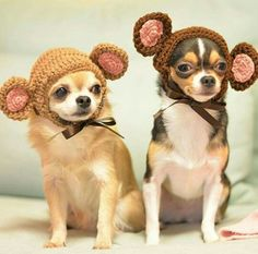 "Look at these adorable ""Monkeyhuahua's"" =)"