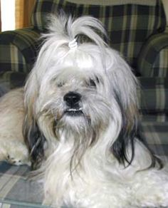 lhasa apso pretty ponytail