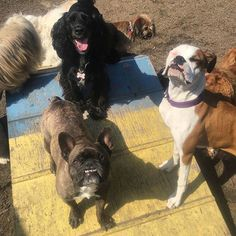 Super fun weekend hanging out with my besties!! 🐶🐶🐶 @sadie__boxer #saycheese #doggydaycare #weekendfun #sundayfunday #frenchie #frenchbulldog #frenchie_bulldog #instafrenchie #frenchiegram #frenchiesofig #igfrenchies #frenchie_squad #thefrenchiepost #dailyfrenchie #frenchiesociety #frenchiecentral #thefrenchieplanet #pawsomefrenchies #squishyfacecrew #dogsofinstagram #dogs #petsofinstagram #pets #cutepetclub #montereybay #adogslife #montereybaylocals - posted by Reggie the French Bulldog…