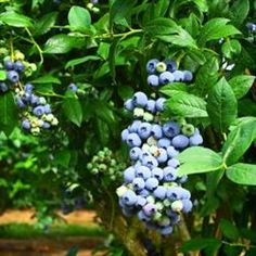 *We are unable to ship live plants to: CA, HI, AK, AZ We offer a great selection of tried and true Blueberry varieties. Blueberries have become a very popular l Growing Blueberries, Growing Grapes, Berry Plants, Fruit Plants, Pruning Blueberry Bushes, Blueberry Varieties, Planting Fruit Trees, Easy To Grow Houseplants, Blueberry Plant