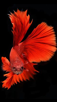 Apple iPhone 6s Wallpaper with Red Veil-Tail Betta Fish in Dark Background