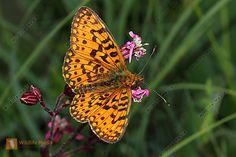http://wildlife-media.at/bild/36631/sumpfwiesen-perlmuttfalter-maennchen.jpg