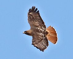 Red Tailed Hawk. Every time I start seeing these on a regular basis, something momentous happens to me. Granted, these wonderful birds of prey are fairly common around here, but for some reason when I start seeing them around the house etc things start happening...:)