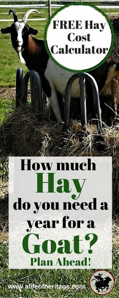 Do you know enough about goat feed? Use this FREE Hay Cost Calculator for Goats. How much hay do you need for a goat? This will help you make a plan and know how much hay to buy a year. Keeping Goats, Raising Goats, Raising Chickens, Goat Barn, Future Farms, Nigerian Dwarf, Goat Farming, Baby Goats, Look Here