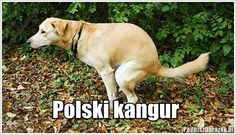 Polski kangur Animals And Pets, Funny Animals, Best Memes, Funny Memes, Polish Memes, Scary Funny, Pokemon, Taekook, Labrador