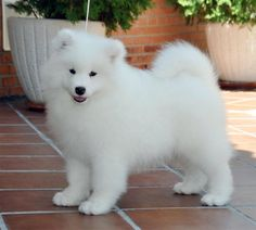 Misty looked just like this! Fluffy Animals, Cute Baby Animals, Animals And Pets, Cute Little Puppies, Cute Dogs And Puppies, Beautiful Dogs, Animals Beautiful, Sweet Dogs, Samoyed Dogs
