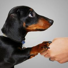 Some of the things we all respect about the Spunky Daschund Puppies Basset Dachshund, Dachshund Rescue, Funny Dachshund, Dachshund Love, Daschund, Cute Puppies, Cute Dogs, Dogs And Puppies, Miniature Dachshunds