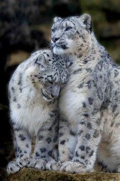 An adorable pair of Snow Leopards that look like they're very much in love!