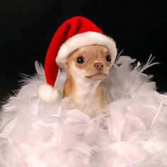 Christmas Chihuahua❤️♥ Yuppypup.co.uk provides the fashion conscious with…