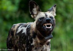 Wild dog giving a smirk during Luangwa Safari House safari -- Luxury safari lodge in Zambia
